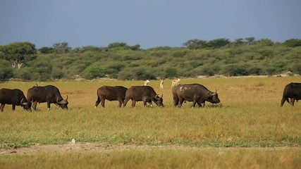 African buffaloes and springbok antelopes on the African plains