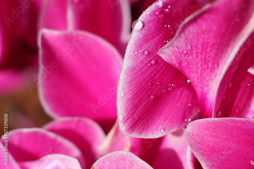canvas print picture close-up of a pink ciclamino