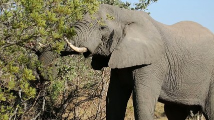 Large African bull elephant feeding on a tree