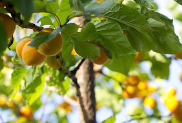 Apricot tree branch.