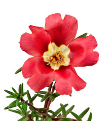 Red flower portulaca isolated on white background