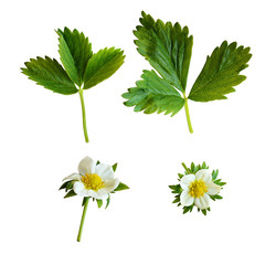 Strawberry flowers and leaves