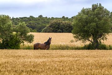 A horse grazing freely beside a wheat field