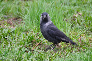 Галка (лат. Corvus monedula)