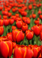 Red tulips blossom in garden