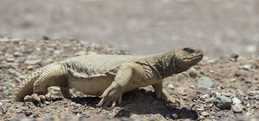 Egyptian Mastigure (Uromastyx aegytius) is a large lizard
