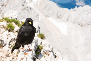 Alpine chough sitting on a rock