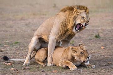 Löwen Paarung - Animal instinct