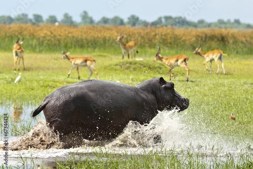 Fotobehang Antilope Hippo rennt im Wasser