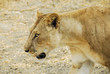 Lioness, Selous Game Reserve (Tanzania)