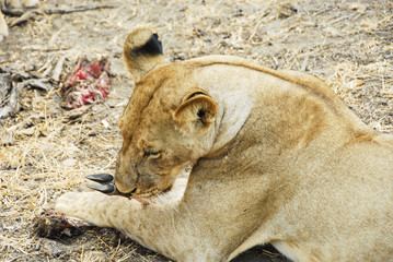 Lioness  finishes eating its prey, Selous  Reserve (Tanzania)
