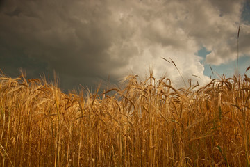 Summer storm clouds over barley crop in Lincolnshire,England.