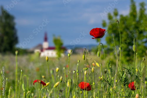 Foto op Canvas Poppy big fresh poppies in the field