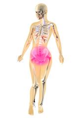 Weibliche Anatomie - Menstruationsschmerzen