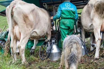 mungitura mucche