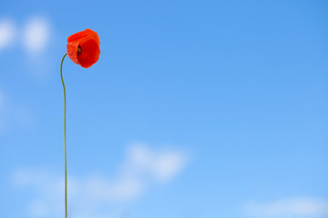 Red poppy on blue sky background - outdoors shot