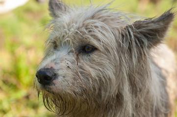 cane pastore bergamasco