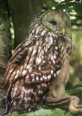 Strix uralensis - owl