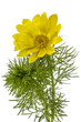 Leinwandbild Motiv Flowers of Adonis, lat. Adonis vernalis, isolated on white backg