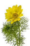Flowers of Adonis, lat. Adonis vernalis, isolated on white backg