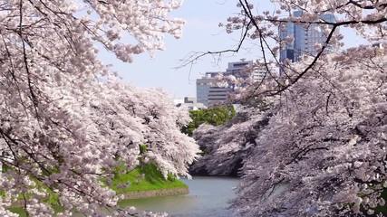 東京都心の桜の名所「千鳥ヶ淵」 青空に満開の咲き乱れる桜-081
