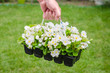 Hand holds container of white blossom begonia in garden