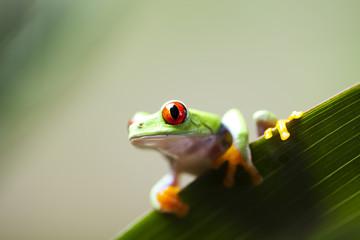 Red eye tree frog on leaf
