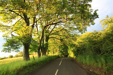 Beautiful old rural road with old oak trees