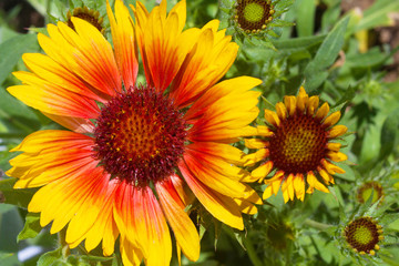 Yellow and brown rudbeckia flowers