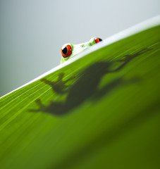 Red eye tree frog on leaf