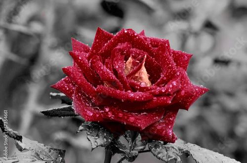 czerwona-roza-na-szarym-tle