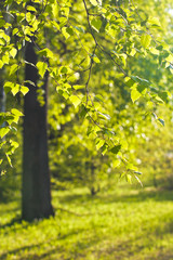 Birch branch with young leaves on blurred natural background