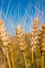 golden wheat on the field at sunset, macro