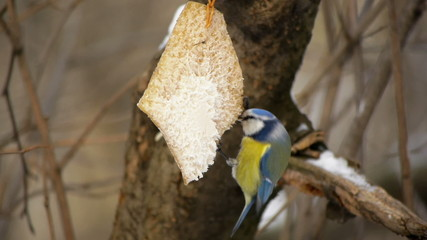 Blue tit eating fat