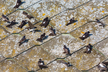 House martins sitting on the roof