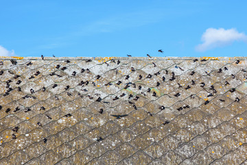 House martins on the roof