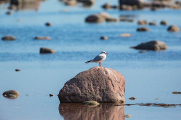 Black-headed gull sitting on a stone