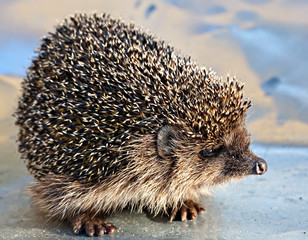 European common hedgehog