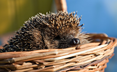 European hedgehog in basket