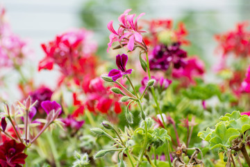 Pink pelargonium flowers in the garden