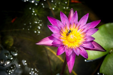 Bee in lotus