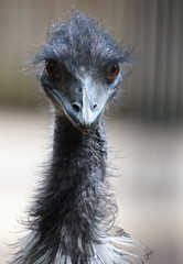 Portrait of a emu