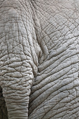 Closeup of elephant skin