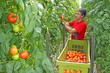 Farm worker picking tomato in a greenhouse