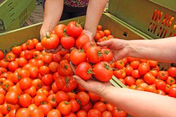 Tomato in women's hands after harvest