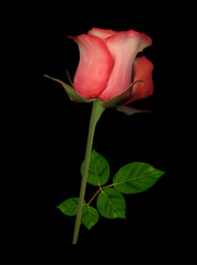 single light red rose on black background