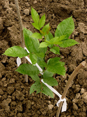 ash-tree sapling three months from germination