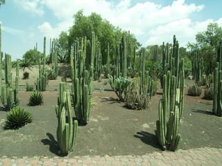 Cactus messicani