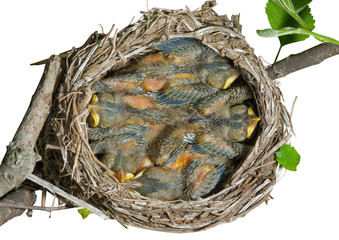 Nest of thrush 13