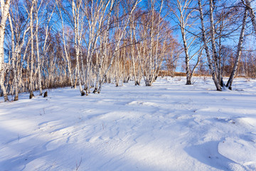 The snow covered birch forest